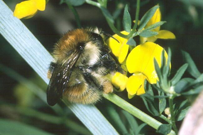 Wild Essex Species: Brown-banded Carder Bee